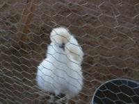 HATCHING FEB 15th White Silkie Chicks $3.00 each No
