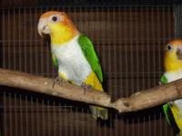 I have baby white belly caiques available, $550 ea at 6