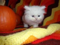 We have a new litter of Teacup Persian male and female