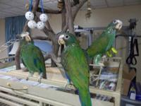White Capped Pionus Babies for sale. Weaned and ready