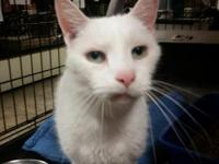 White Chocolate 13 years old. He is a companion cat,