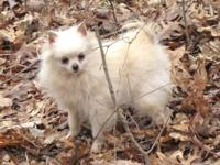Stunning White CKC Pomeranian. He is a years of age