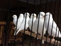 Incredible large white Colorbred Canaries.  They