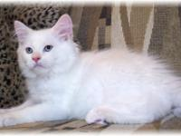 LOVELY SOLID WHITE CREAM LYNX POINT PERSIAN / HIMALAYAN