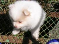 I have a white/cream colored Male Pomeranian looking