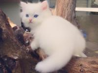 For Sale White Doll Face Persian Kitten with Blue Eyed
