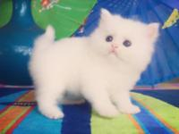 For Sale: www.KismetKittens.com White Doll Face Persian