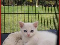 Animal Wellness Rescue has a White Domesticmale Kitten