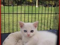Animal Wellness Rescue has a White Domesticmale Kitten