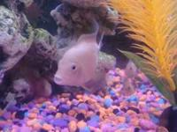 I have White Dwarf Parrot Cichlid babies for sale. They