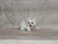 Gorgeous White Exotic short hair kitten. Soft and thick