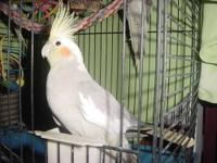 a proven pr of white face cockatiels.(although their
