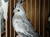 I have a pair of white face cockatiels i need to rehome