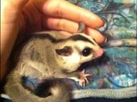 I have two female sugar gliders to rehome they are hand