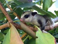 Female white-faced sugar glider available for pick up