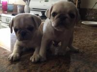 Beautiful rare white/fawn pugs. I have 2-males $1,400
