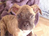 This cute pure breed white boxer puppy is 8wks old &