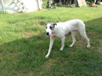 1Yr Old Great Dane name Angel. She is really spirited