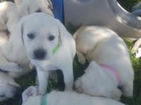 Full English white lab puppies! 4 females available