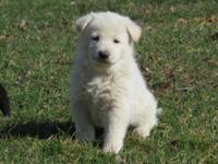 We currently have one white German Shepherd female pup
