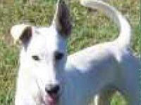 White German Shepherd - Penny - Large - Adult - Female