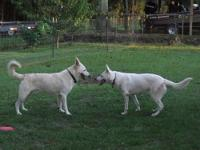 White German Shepherd puppies, will be ready around