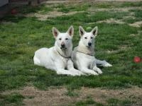 Purebred White German Shepherd pups born Feb 2