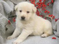 A.C.A. Registered White German Shepherd puppies, they