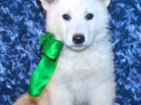 The white german shepherd dog is a working or companion