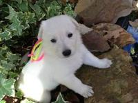 Only 1 female adorable white AKC registered German