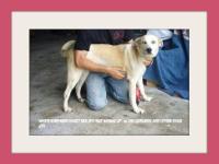 White German Shepherd - Taz - Medium - Young - Female -