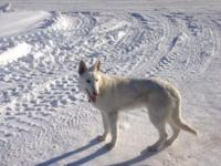 I have to discover a house for my White German Shepherd