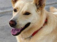 White German Shepherd - Wolfie - Large - Adult - Male -