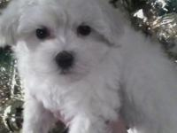 This little Maltese/Poodle is white as snow! he is