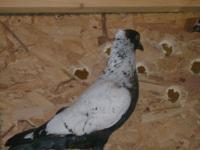 I have White Homer $10 each & & Crested Pheasant