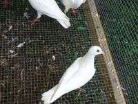 White Homing Pigeon and Giant Homer Pigeon $15 each.