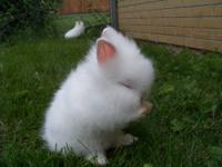i have 2 english angora long haired all white bunnies.