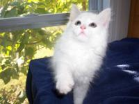 White Angora Kittens-DLH (Domestic Long Hair). We can
