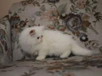 White male Persian kitten from GC NW blue eyed bi-color