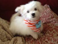 HOLIDAY MALTESE HAPPINESS White Purebred Maltese