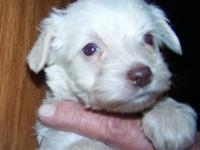 WHITE MINIATURE SCHNAUZER PUPPIES WE HAVE 1 BRIGHT