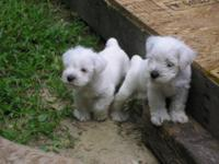 I have 4 new puppies ... CKC signed up. Tails anchored,