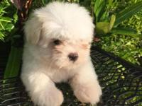 white morkie puppy! He is 8 weeks old and he had his