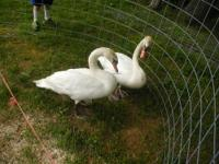 1 Pair of white mute swans, they are at least 4 years