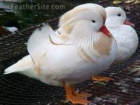 I have wood ducks and mandarins for $100 pair, white