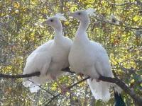 White peacock pairs for sale (male and female) Average