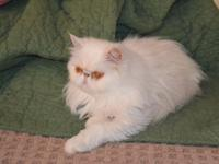 """Sprinkles"" is an unaltered registered female cat. She"
