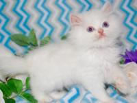 9 week old very sweet Persian white male blue eyes pics