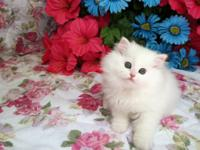 "Beautiful ""Shiloh"" White Doll Face Persian. A loving"