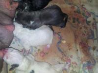I have a litter with 2 white puppies and 2 blue